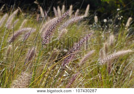 Purple Wild Grasses in Western Australia