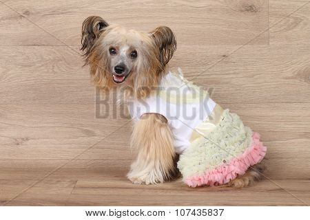 Shaggy Chinese Crested Dog
