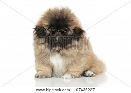 Funny Pekingese Puppy