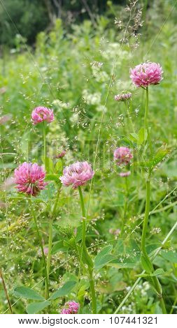 Clover Flowers On The Field