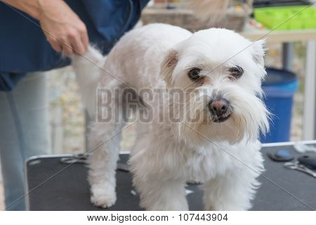 Grooming The Background Of The White Maltese Dog