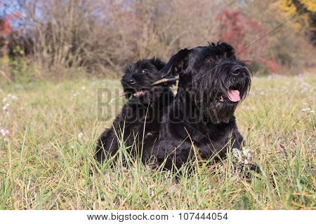Couple Of Cute Puppy And Old Dog Of Giant Black Schnauzer