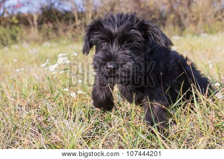 The Puppy Of Giant Black Schnauzer Dog Is Jumping