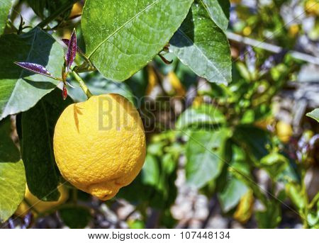 lemon on a tree branch