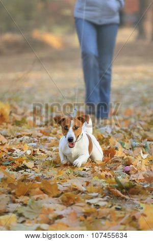 Women And Jack Russel Terrier Walking In The Park In Autumn