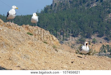 Seagulls - Lat. Laridae, Sitting On The Hill With Opened Beak