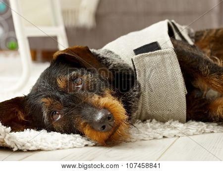 Lovely dachshund in clothes lying on floor, looking sad.
