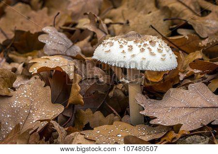 Macrolepiota Mastoidea - Edible Mushroom