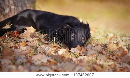 Black Puppy Lies In Autumn Leaves.