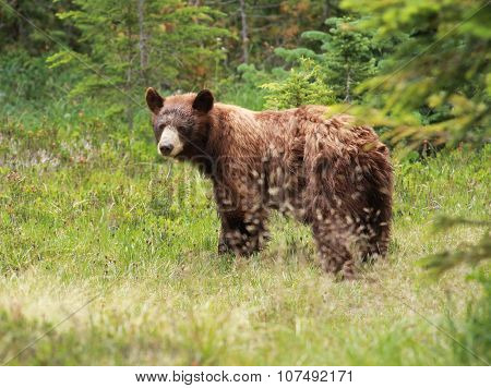 Juvenile Black Bear