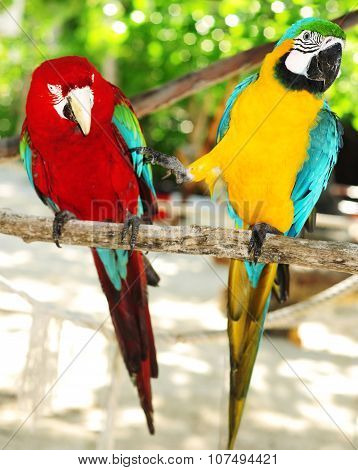 Two Beautiful Carribean Maccaws On Exotic Beach At Saona Island