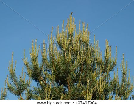 Dense Pine Branches , Blue Sky In The Background