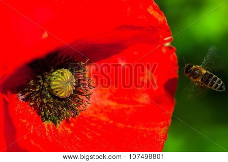 Closeup Of The Blooming Red Poppy Flower With A Bee