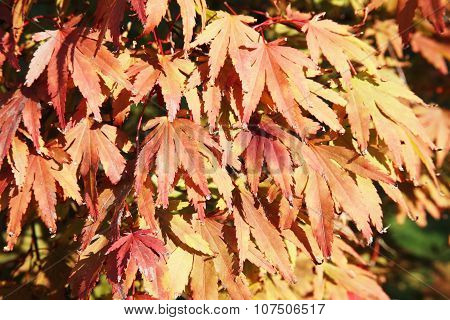 Acer palmatum ( Japanese maple)