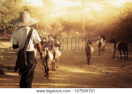 Burmese Herder Leads Goat Herd At Sunset Landscape. Myanmar (burma), Travel Destinations