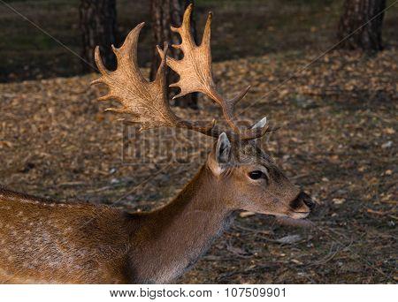Closeup Of Fallow-deer