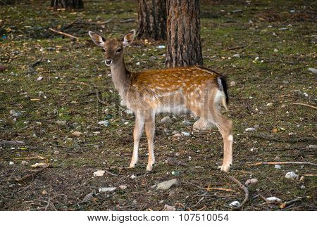 Fallow-deer In The Forest