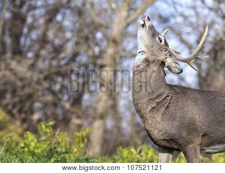white-tailed buck in rut
