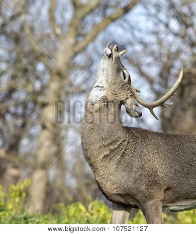 whitetail buck in rut