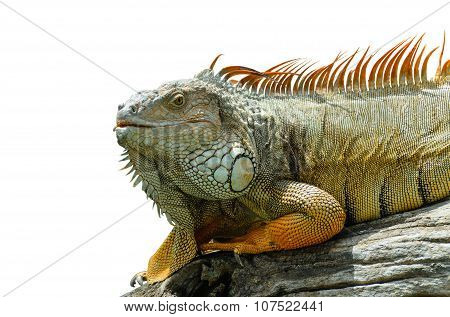 Giant  Iguana Close Up.