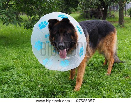 Sick dog in collar outdoor