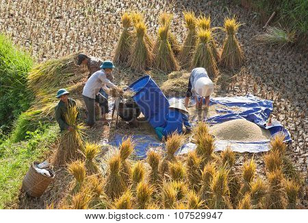 Vietnamese farmers harvesting rice on terraced paddy field