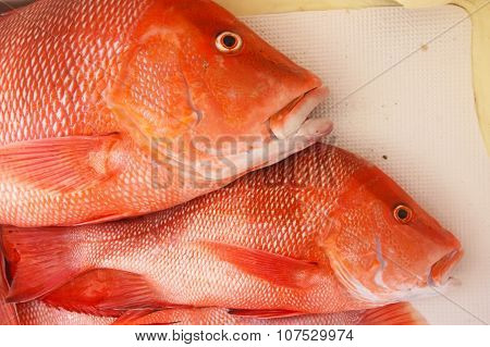 Large red snapper on the boat