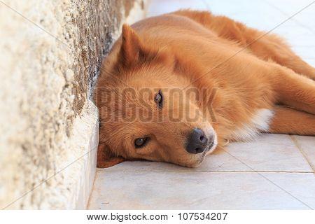 Portrait Of A Dog Lying Near The Wall