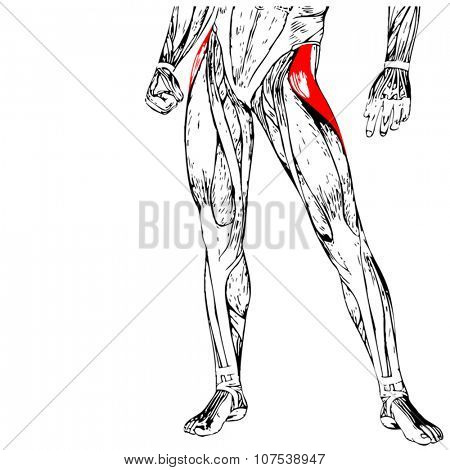 Vector concept or conceptual 3D human upper leg anatomy or anatomical and muscle isolated on white background