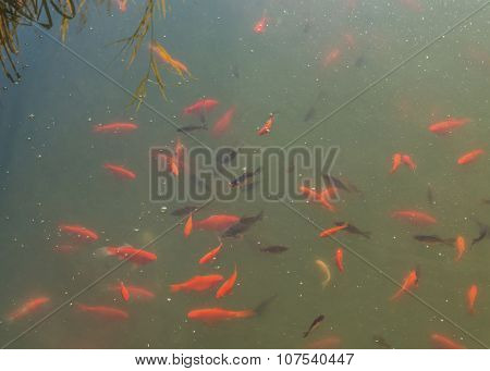 Ornamental fish in the pond in the park