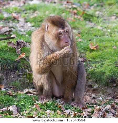 Beautiful Pig-tailed Macaque (macaca Nemestrina)