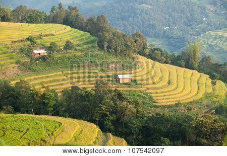 Asia rice field by harvesting season in Mu Cang Chai district, Yen Bai, Vietnam