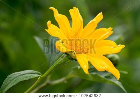 Tree marigold or Mexican tournesol or Mexican sunflower or Japanese sunflower or Nitobe chrysanthemu