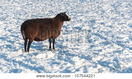 Dark Brown Sheep In The Snow