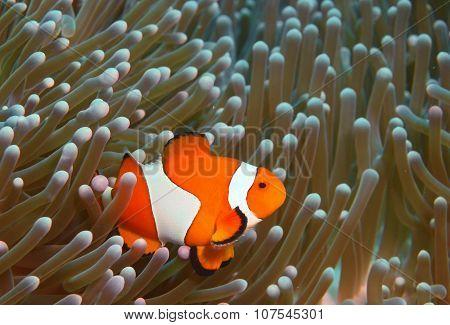 Fish-clown, Island Bali, Pemuteran
