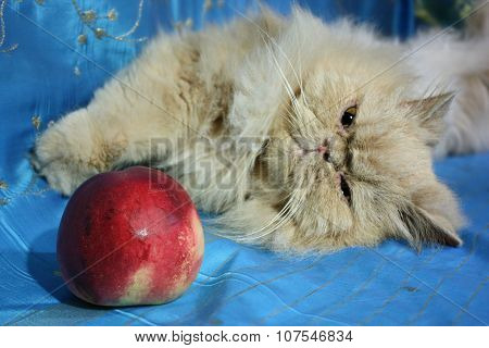 Adult Persian cat lying on a blue fabric with a peach