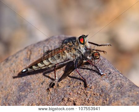 Robber fly trapping a small insect
