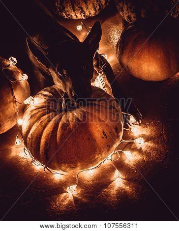 A Dog and Halloween Pumpkins