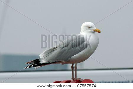 Herring gull in standing position