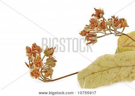 Dried Linden