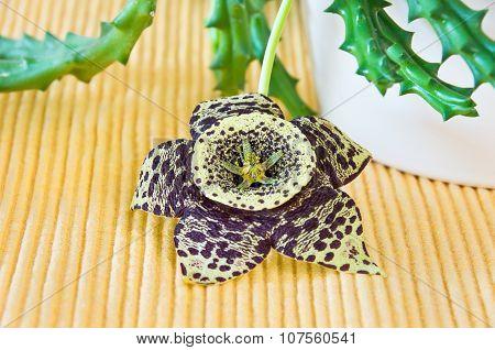 Star Flower, Orbea Variegata