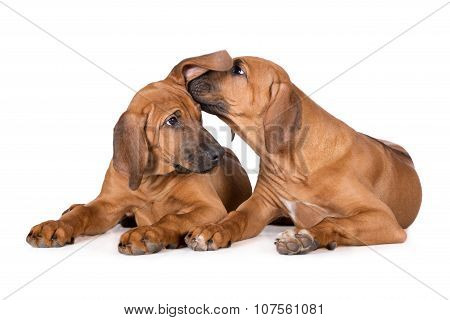 two ridgeback puppies on white