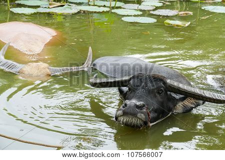 Buffalo In The Water Lily Pond