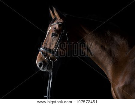 Sporty Horse Against A Black Background