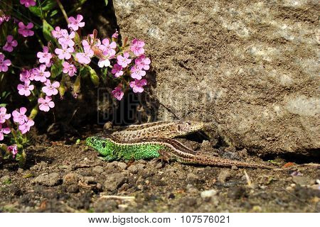 Lacerta Agilis - Sand Lizard - Mating Season.