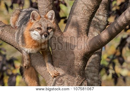 Grey Fox (urocyon Cinereoargenteus) Hangs Out In Tree