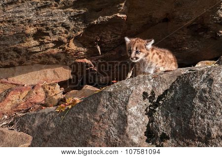 Female Cougar Kitten (puma Concolor) Crawls Out From Rock Den