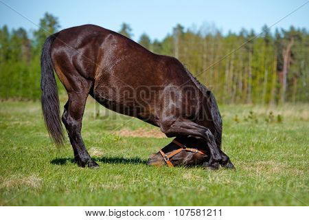 beautiful brown horse on a field