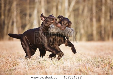 two brown dogs outdoors