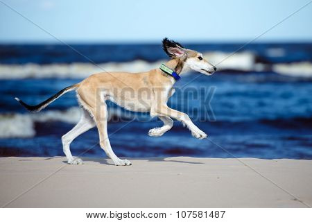 saluki puppy on a beach